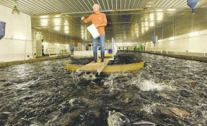 Example of USA Trout Farm 4000 Ton in one tank.